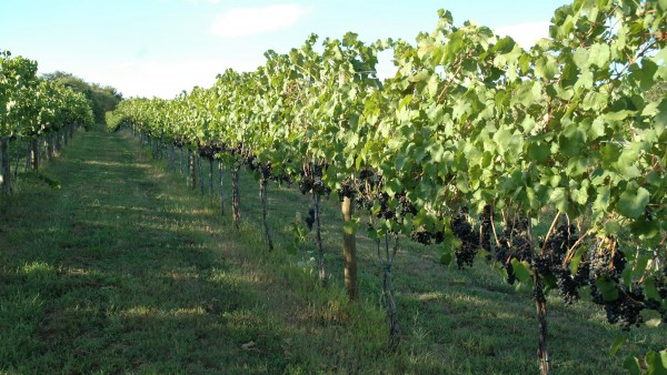 Furnace Mountain Vineyard