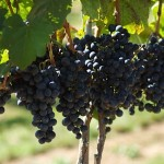 8 Chains North Winery grapes at Furnace Mountain Vineyard