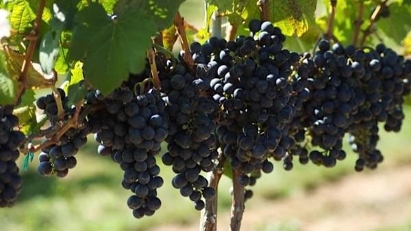 Furnace Mountain Vineyard