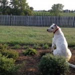 Dog in the Vineyard