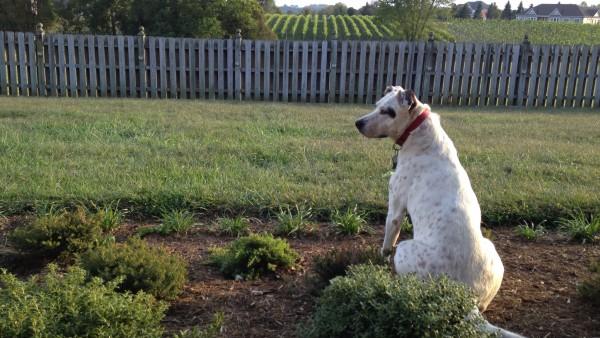 Dog in the Vineyard