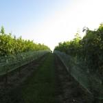 sauvignon blanc grapes at 8 chains north winery