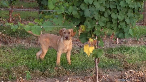 waylon in the vineyard