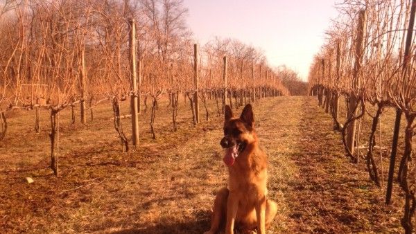 Xena tending to the vines