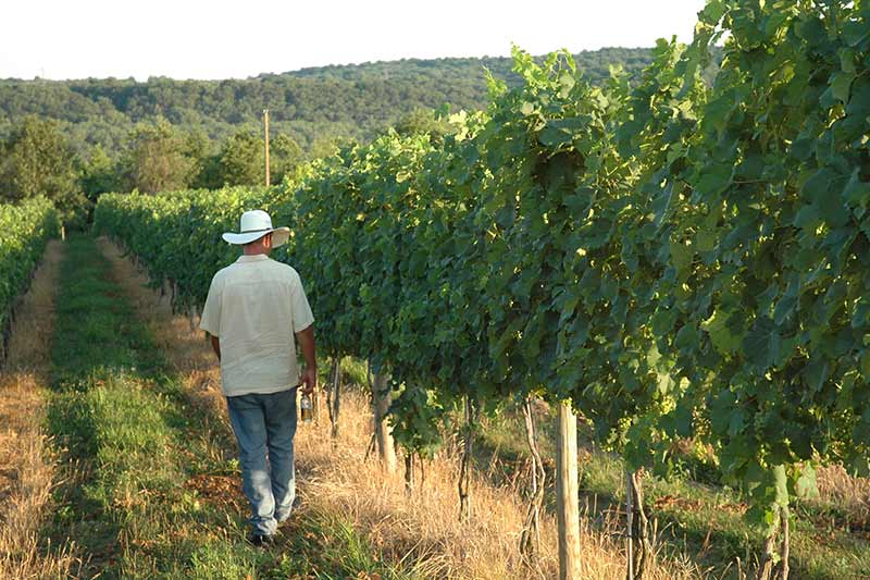 owner ben renshaw walking the vineyard